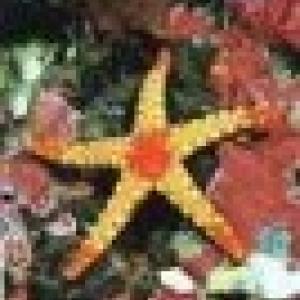 Retrato de estrela-do-mar